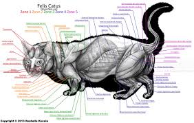 house cat anatomy images learn human anatomy image