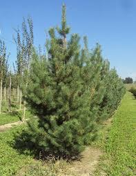pinus sylvestris scots pine