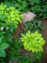 miniature u0026 small hostas carolyn u0027s shade gardens