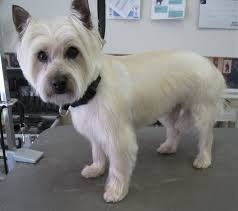 cairn terrier after grooming this is a great cut for or tiki