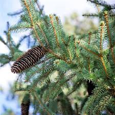 blue spruce trees buy affordable colorado blue spruce trees at our online nursery