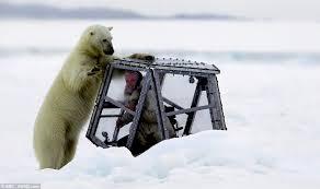 starving polar bear attacks bbc cameraman pod arctic norway