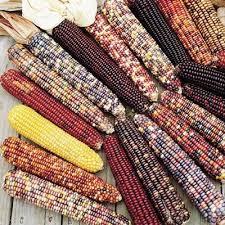 ornamental corn wilda s pride harris seeds