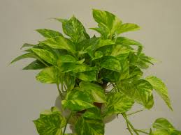 Best Low Light Indoor Plants by Garden Perfect Houseplant For Your Home With Golden Pothos
