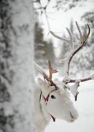 snow white reindeer 15 wildlife america only lifeteams