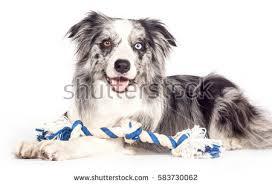 australian shepherd x border collie border collie cross stock images royalty free images u0026 vectors