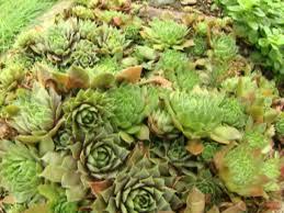 sedum and other succulents hgtv