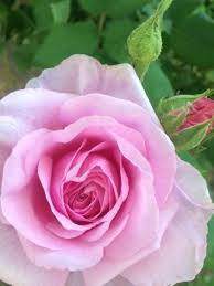 Fragrant Flowers Fragrant Flowers To Grow Easily In The Southern Garden Hubpages