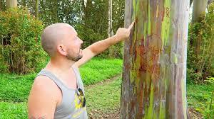 rainbow eucalyptus trees on the road to hana expedia viewfinder
