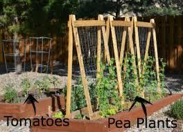 easy pea trellis garden design garden design with spiral garden trellis m high