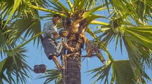 canopying in the date palm tree dactylifera stock