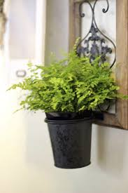 misting boston ferns tips on increasing humidity of boston fern