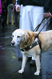 Dogs Helping Blind People Guide Dogs