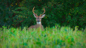 When Do Deer Shed Their Antlers by Hunting Tactics Hunting Advice And Tips For Serious Deer And