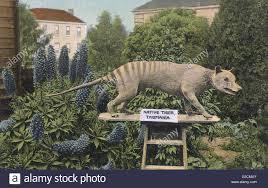 native tasmanian plants thylacine tasmania stock photos u0026 thylacine tasmania stock images