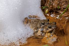 how female frogs get tricked into choosing an