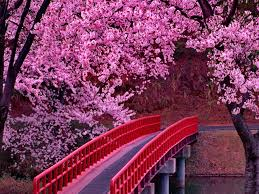 japanese foto blossom festivall free wallpapers cherry
