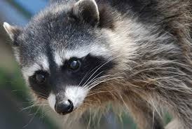 Raccoons In Backyard How To Get Rid Of Raccoons