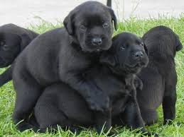 affenpinscher lab mix mastador labrador retriever mastiff mix spockthedog com