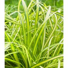 ornamental grass carex oshimensis evercolor eversheen white