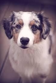 australian shepherd undercoat rake 373 best dog stuff images on pinterest dog kennels whelping box