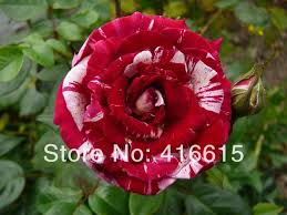 Burgundy Roses Aliexpress Com Buy 250 New Rose Seeds 5 Different Colors Rare