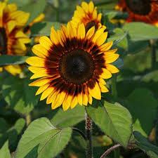 flower pro sunflower pro cut bicolor f1 harris seeds
