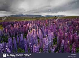 Rugged Landscape A Purple Blue And Violet Carpet Of Lupins In The Rugged Landscape
