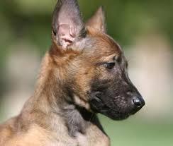 belgian shepherd kijiji dog breeds picmia
