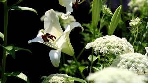 casablanca lilies in the garden fragrant casablanca lilies ornamental
