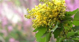 native plants in oregon oregon state flower the oregon grape proflowers blog