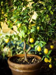Plants Easy To Grow Indoors How To Grow A Lemon Tree In Pot Care And Growing