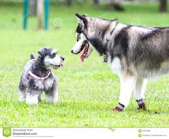 face off between siberian husky and schnauzer stock photo image