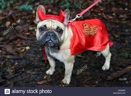 pet halloween costumes uk london uk 27th october 2013 buffy the french bulldog dressed up