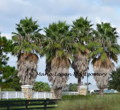why don u0027t they remove the brown leaves on sabal cabbage palms