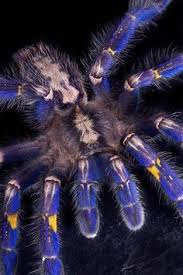 the gooty sapphire ornamental tarantula also known as the