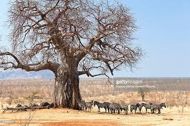 zebra tree ruaha national park tanzania stock photo getty images