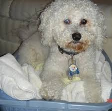 bichon frise breed standard bichon frise dog breed standards