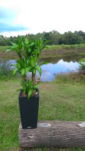 iron tree plant buy chye heng orchid garden pte ltd