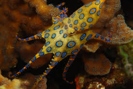 blue ringed octopus facts habitat life cycle venom pictures