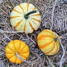 white pumpkins white ghost pumpkins care types and growing tips