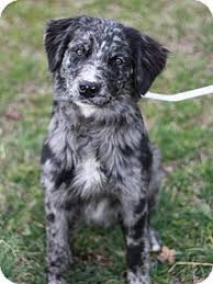 australian shepherd zucht deutschland danbury ct border collie australian shepherd mix meet bowie a