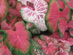 mixed pink caladium bulbs