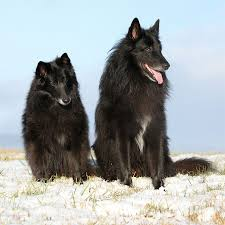 belgian shepherd wolf mix belgian sheepdog dog breed information pictures characteristics