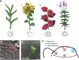 What Is Growth Movement Of A Plant Toward Light Called How A Plant Builds Leaves Plant Cell