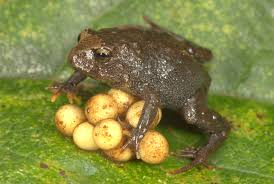 not climate change fueling frog declines in the andes study finds
