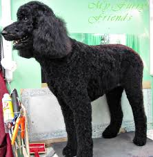 poodles long hair in winter pet grooming the good the bad the furry no poodle look
