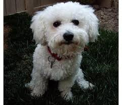 bichon frise names male bichon frisé dog breed info petmd