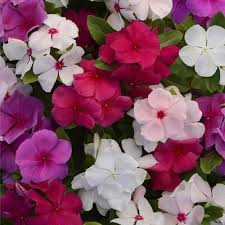 vinca flower periwinkle mix flower seeds the sun seeds