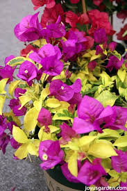 Bougainvillea Topiary - the secrets of bougainvillea sharing all i know about this